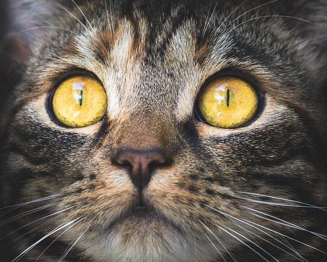 obličej kočky